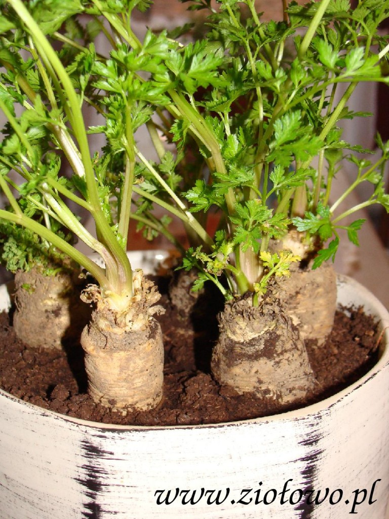 Korzeń pietruszki posadzony w doniczce z czasem wypuści piekną zieloną nać.