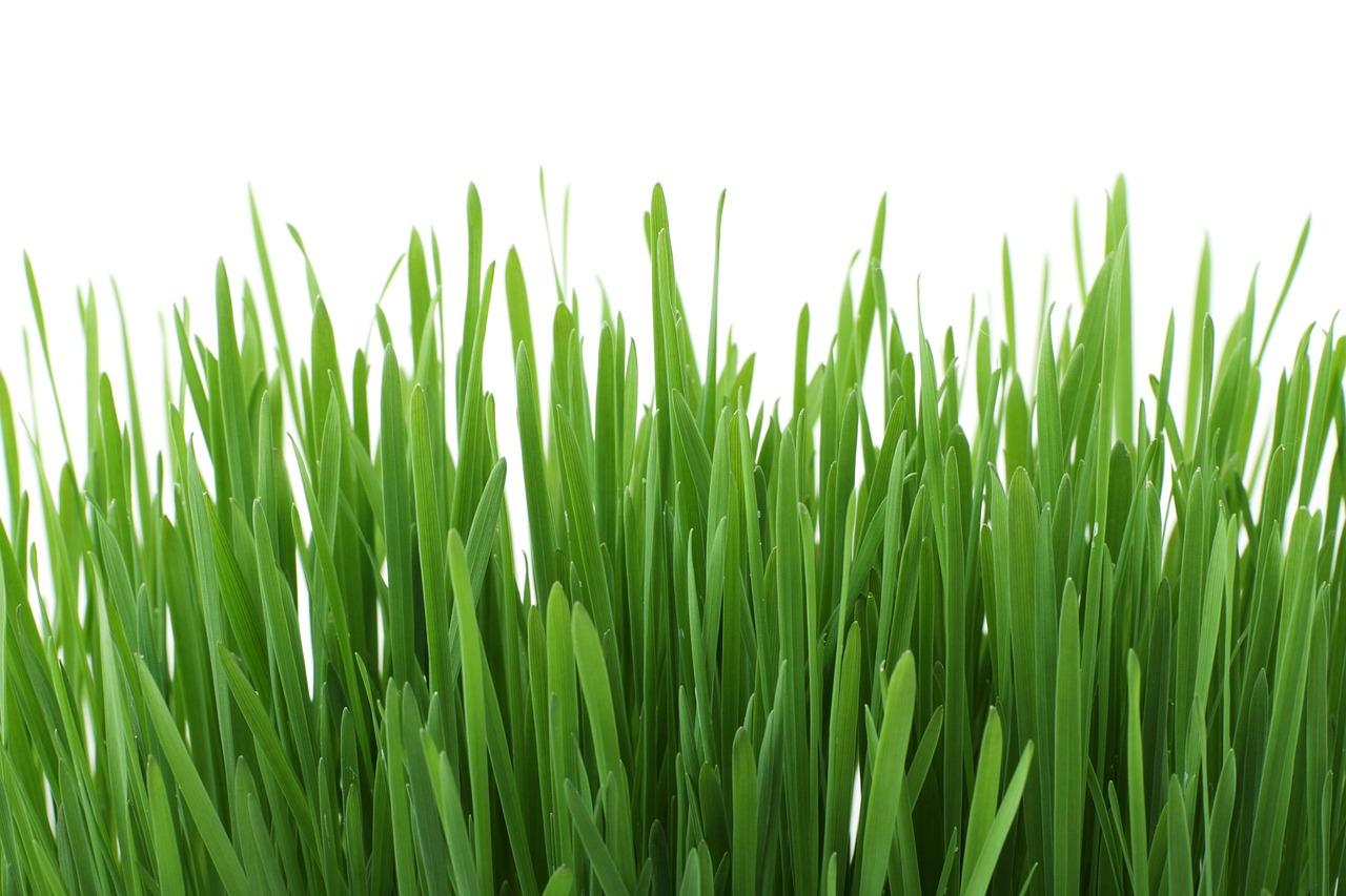 młody zielony jęczmień skutki uboczne