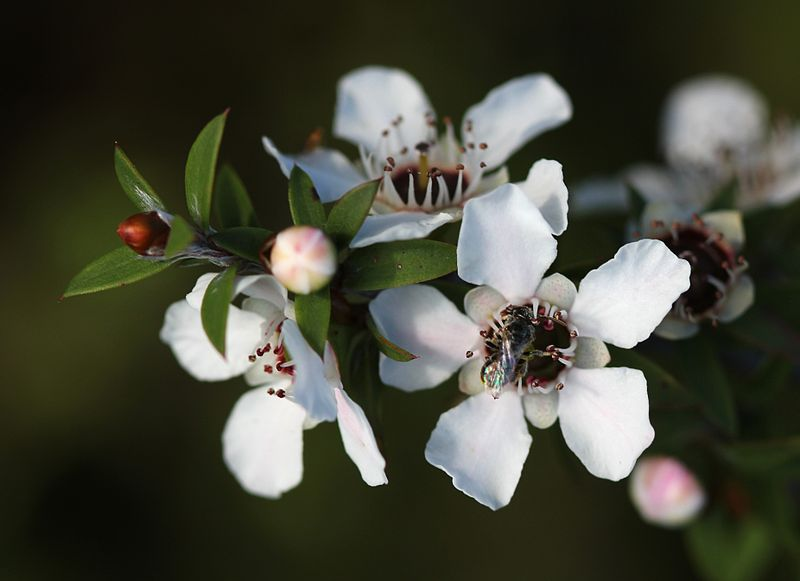 800px-Manuka_flowers_and_native_bee